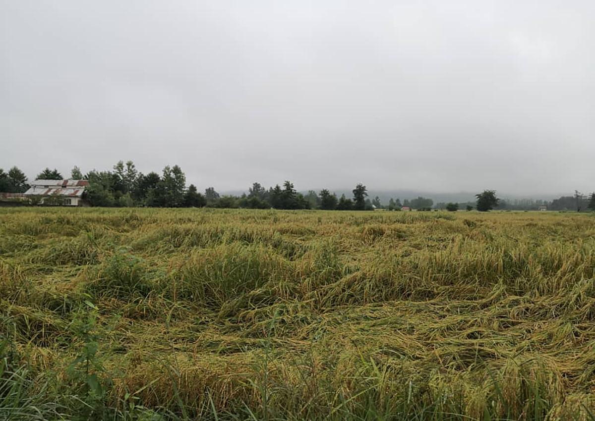 پدیده وِرس یا به خواب رفتگی شالیزارهای برنج